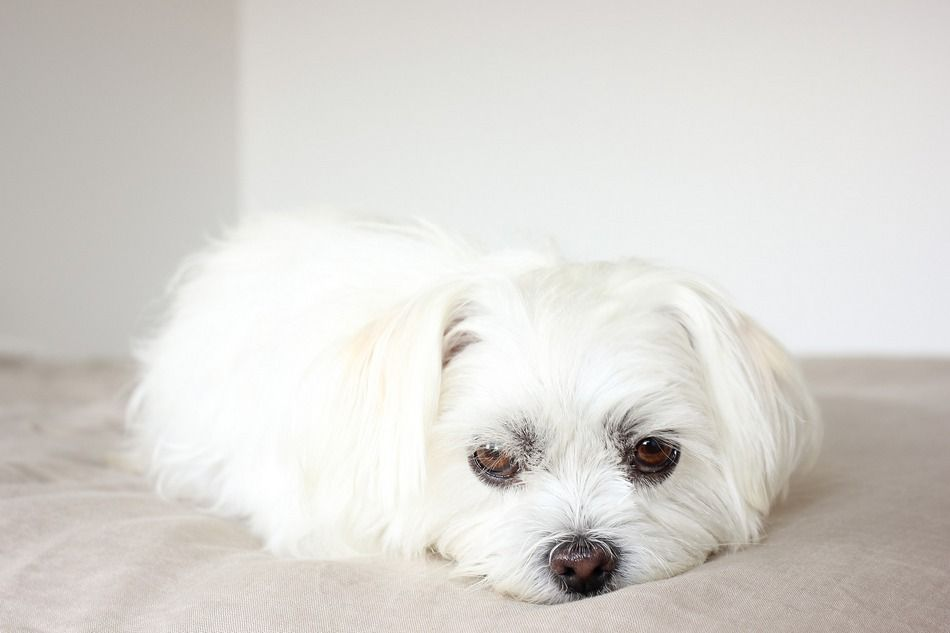 8 Most Common Shih Tzu Eye Problems To Watch Out For Maltese
