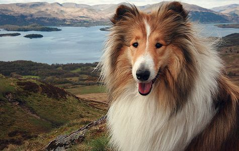 Pin On Group Rough Collies Aka Lassie Best Dog Breed Ever