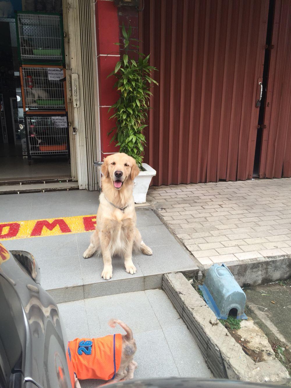 Happy Dog ; Golden Retriever