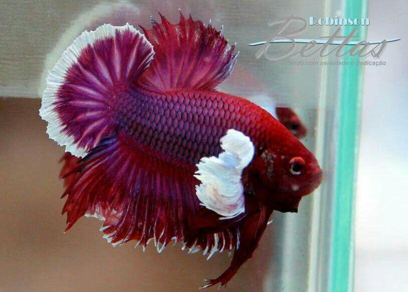 Ayvreytate Betta Fish Tank Betta Betta Fish Types