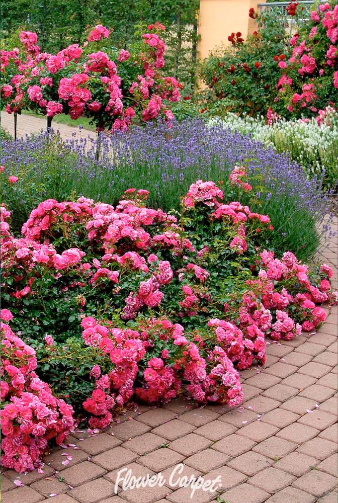 The Perfect Color Combination Flower Carpet Pink