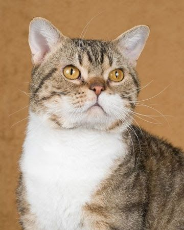 Looks just like Tiger. Interesting facts about American Wirehair Cat ...