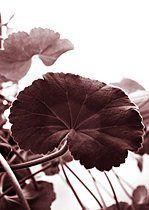 p3483485, Ader, Blatt, Close-Up, Frisch, Pflanzen, plain Rauschen