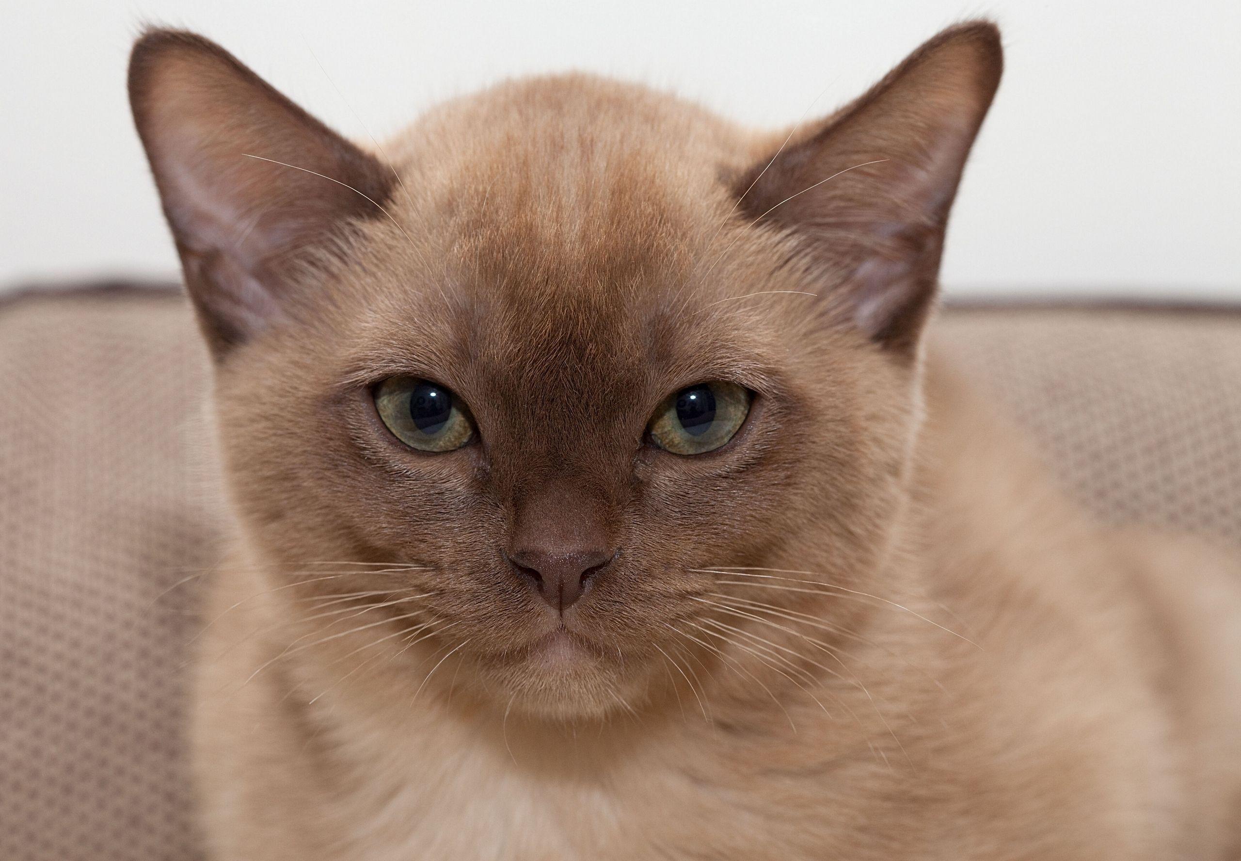 Burmese Chats et chatons, Petit chat, Chat