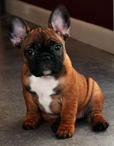 Frenchie Has To Be The Cutest Puppy Ever French Bulldog