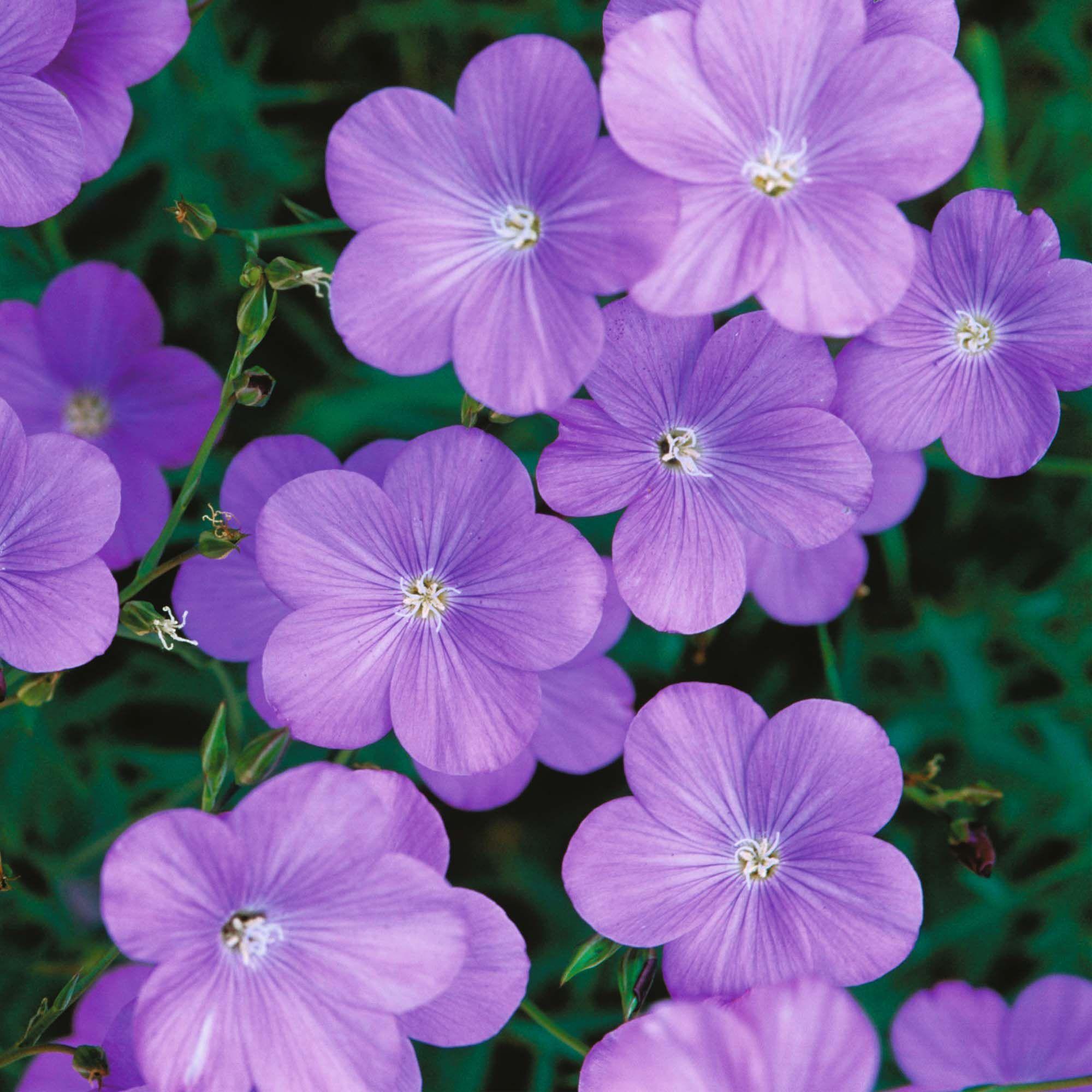 Blue Flax Flax Flowers Planting Bulbs Flower Seeds