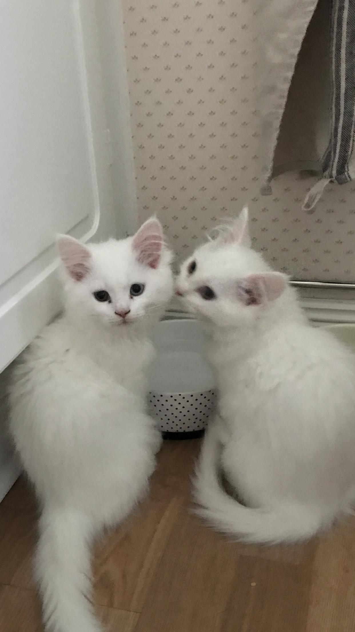 Pretty White Kittens Pretty Cats Kittens White Kittens