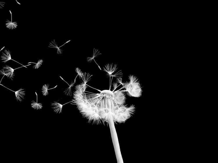 Pisenlit En Noir Et Blanc Recherche Google Photo Noir Et Blanc Ecran Noir Fond D Ecran Fleur Blanche