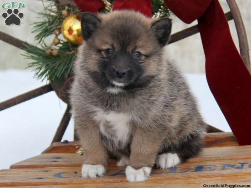 Roma Pomsky Puppy For Sale In Gap Pa Puppies Pomsky Puppies Pomsky Puppies For Sale