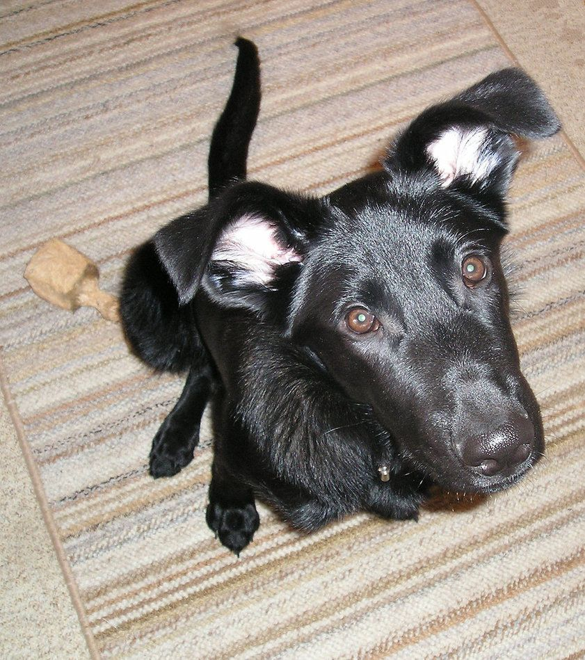 My other new puppy! I have a black lab, German shepherd