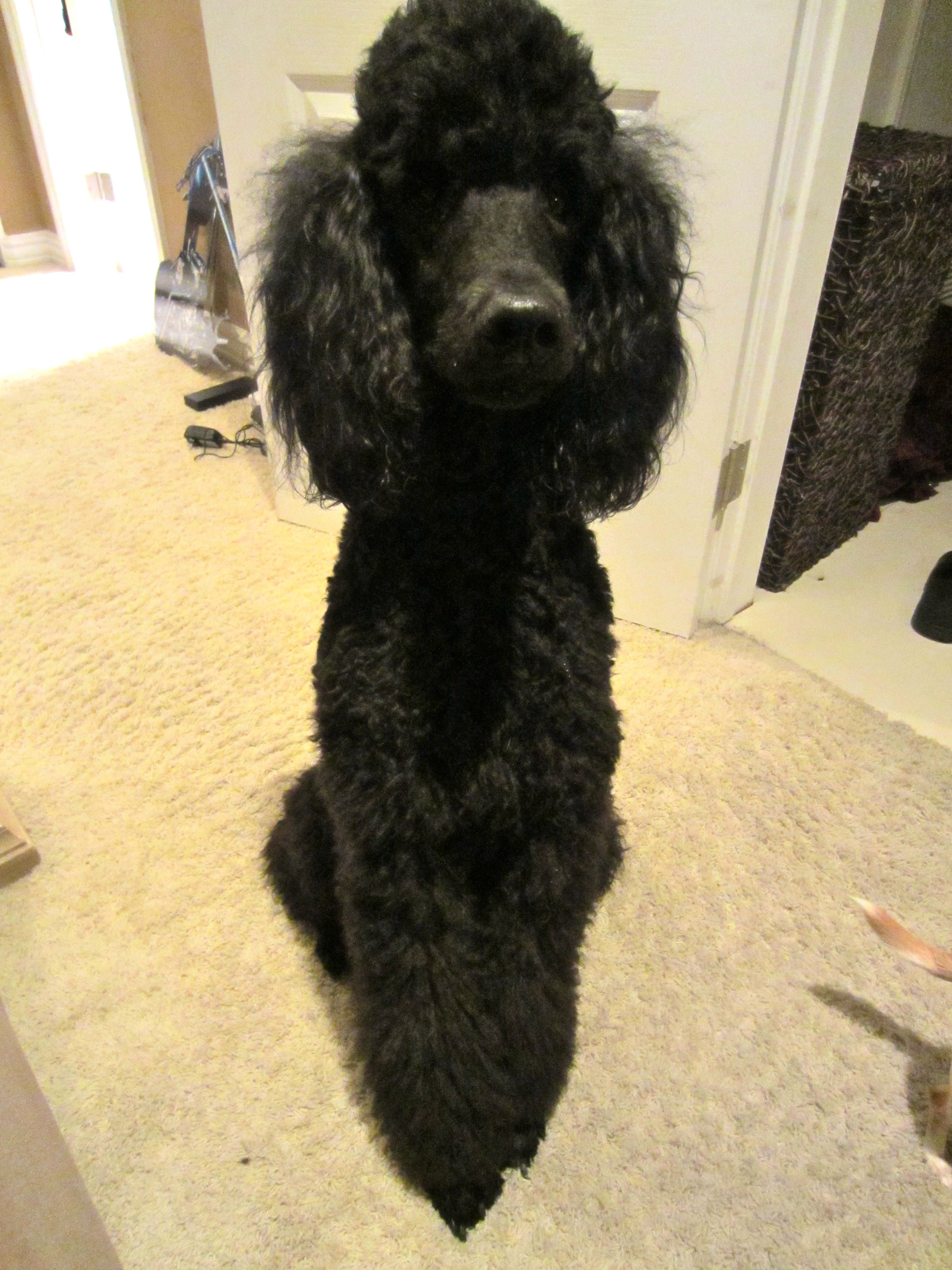 Miss Juliet Poodle dog, Black standard poodle, Standard