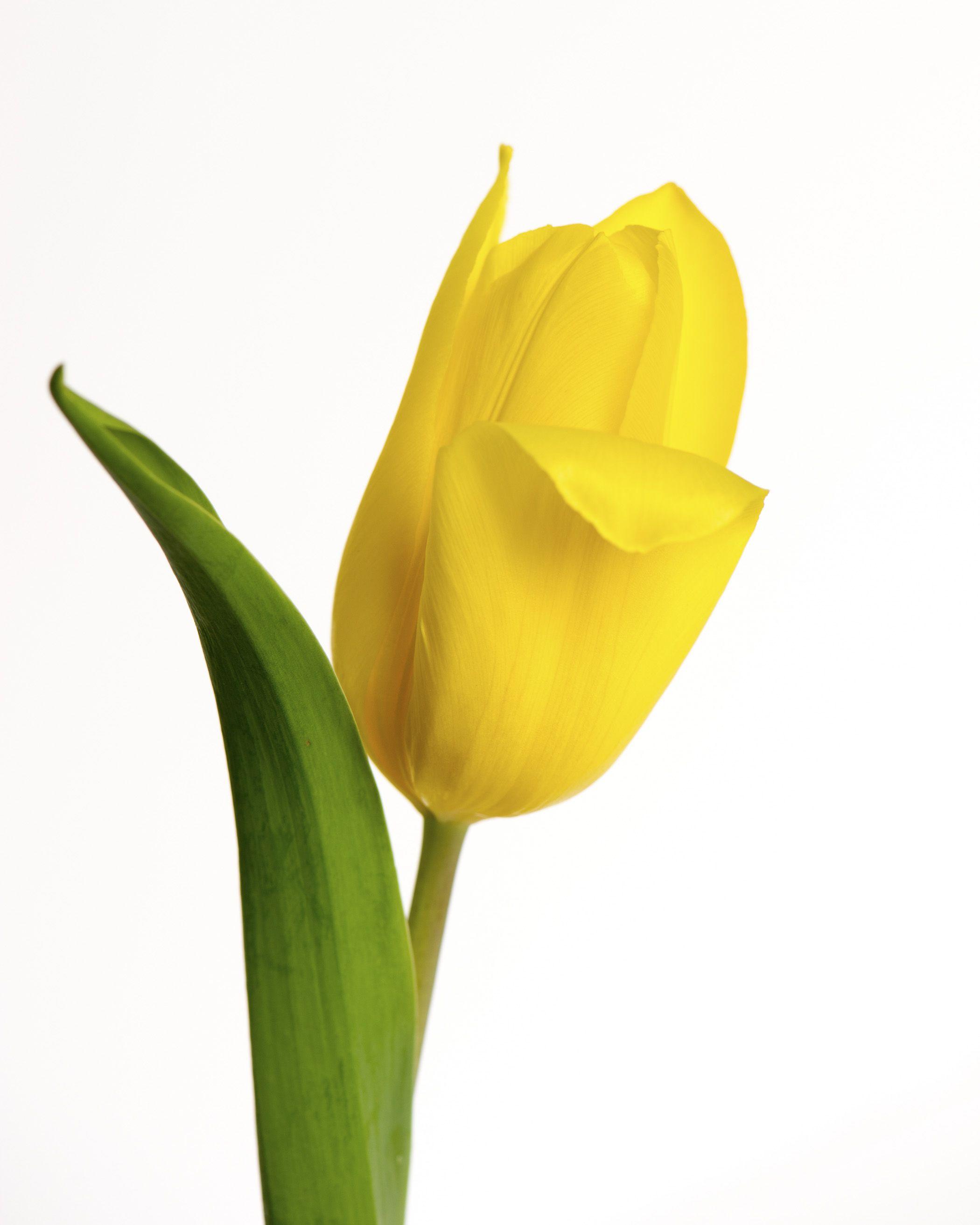 Single Yellow Tulip With White Background Copyright Nancy