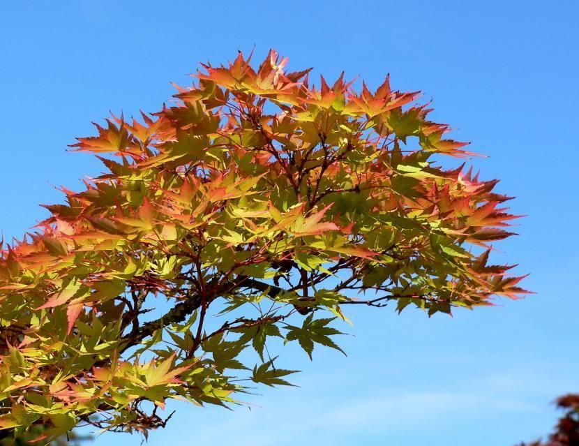 Diferentes Variedades De Arce Japonés Arce Japones Plantación De árboles Tipos De Plantas
