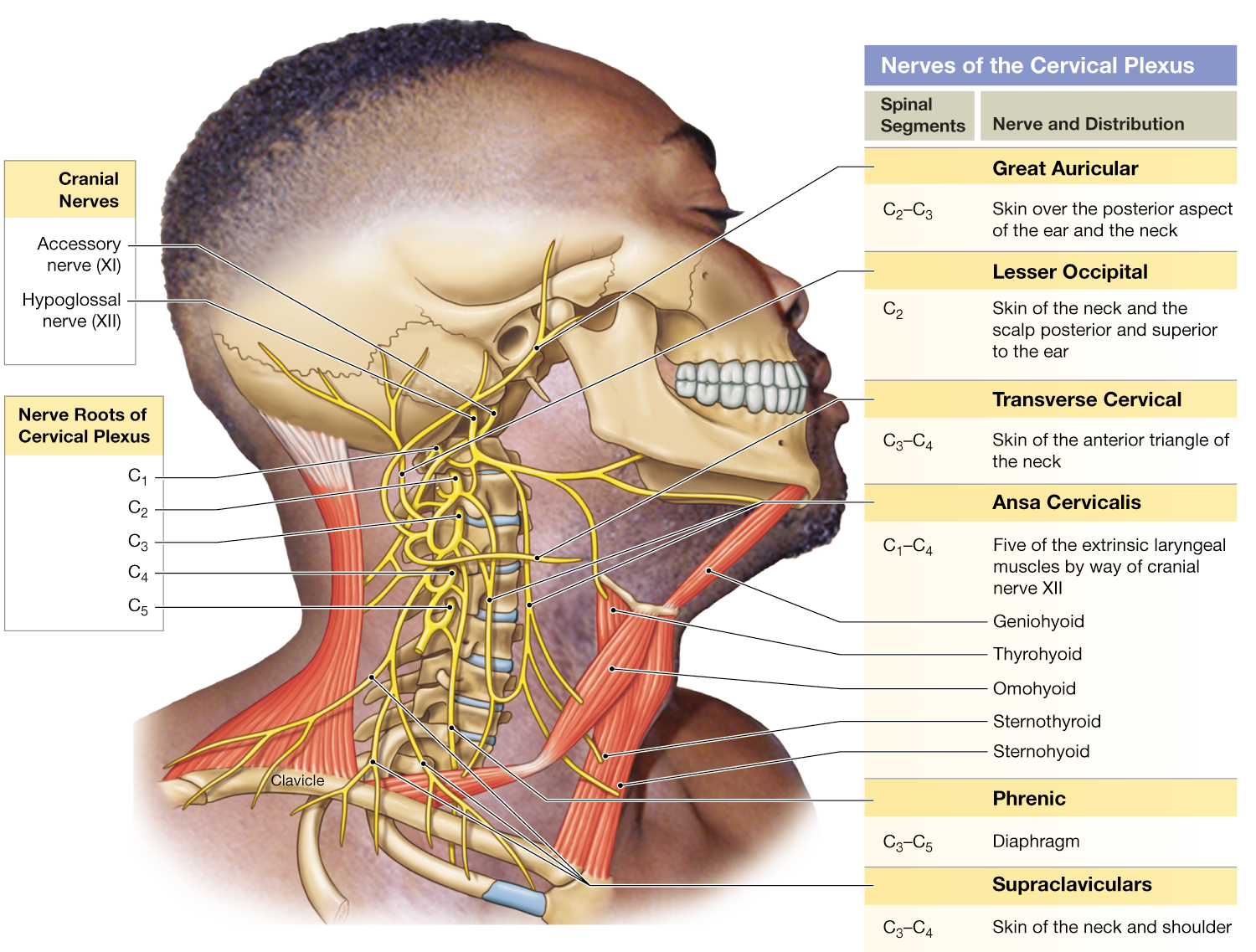 13.4: Spinal nerves extend to form peripheral nerves, sometimes ...