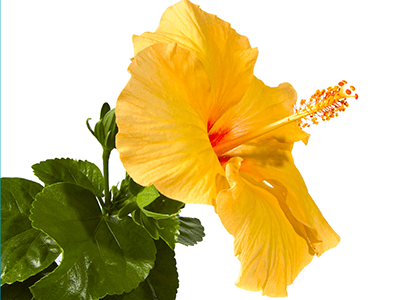 Hawaii Facts About Hawaii Fun Facts For Kids Flores