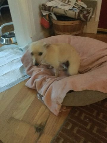 Chihuahua Mix Puppy For Sale In Leominster Ma Adn 49584 On