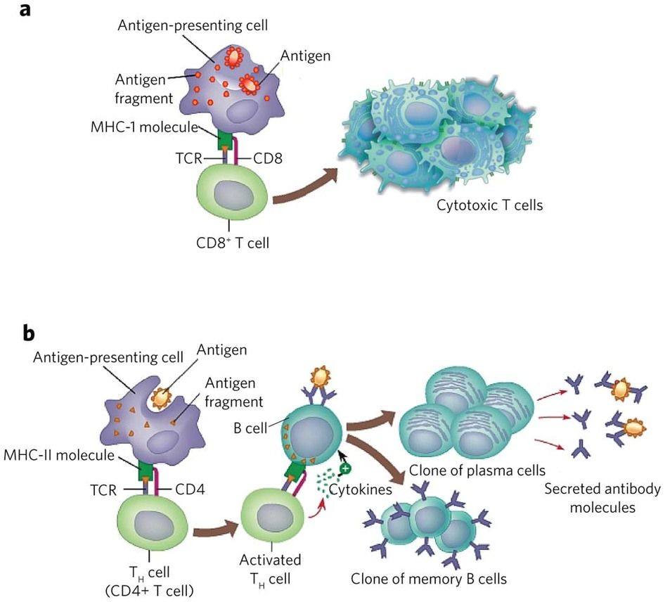 immune cell immunity cellular humoral antigen presenting system cells mhc specific cd4 science nature cancer nursing immunotherapy immunology biology adaptive