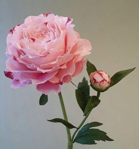 {Charming pink Peony by Robert Haynes}
