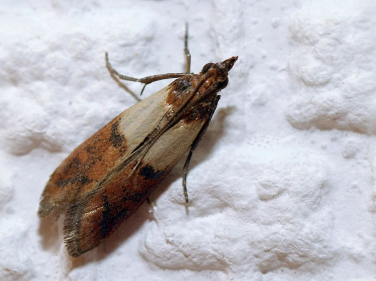 Das Hilft Gegen Motten Was Tun Gegen Motten Schadlinge Im Haus Lebensmittelmotten