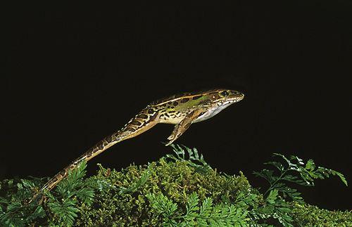 Leopard Frog Jumping, Florida