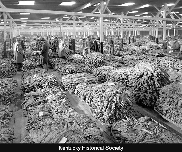 Buyers inspect tobacco piled on the auction room floor in a