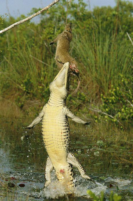 Pin by FratDaddyFIn on Croc anatomy | Pinterest | Alligators ...