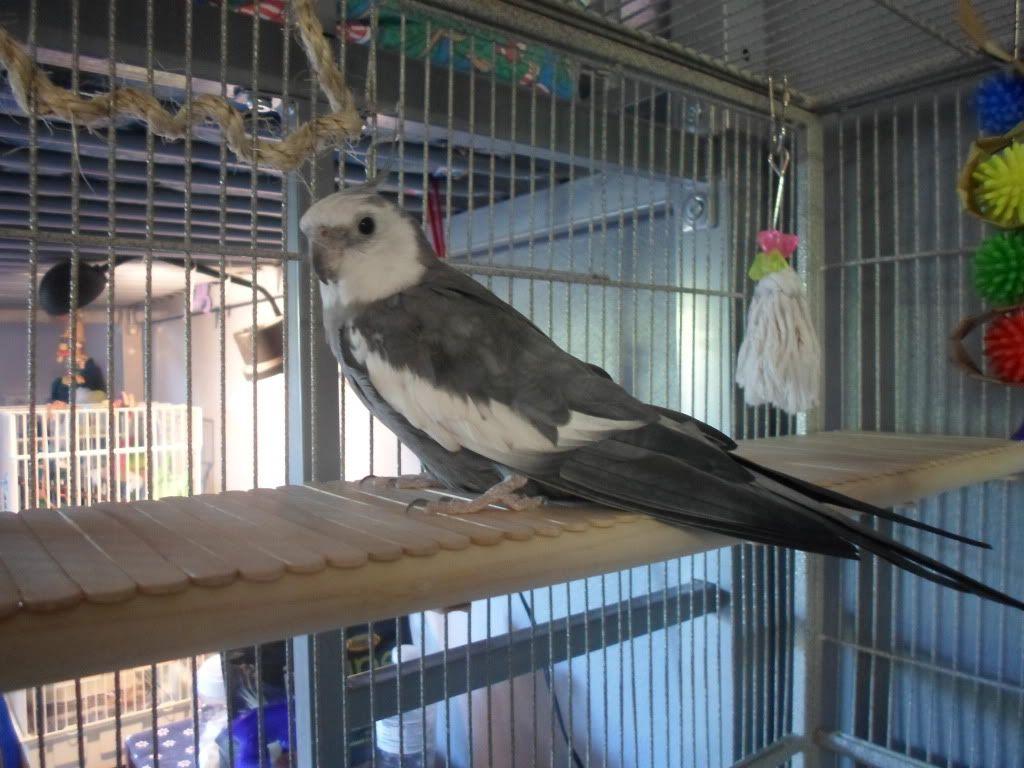 Easy Cheap Platform Perch Diy Bird Toys Parrot Perch Diy Cockatiel Toys