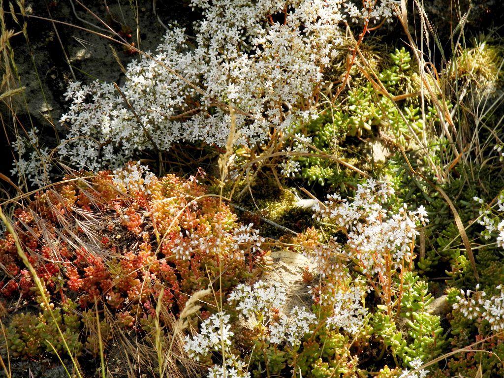 Mauerpfeffer Essbar fetthenne weiß oder weißer mauerpfeffer sedum album mit blüten