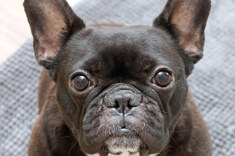 French Bulldog From Rags To Royals Rescue By Jessica Anne Stone