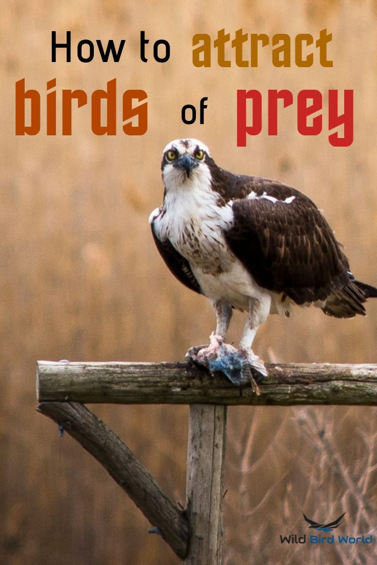 How to attract birds of prey to your yard in 2020 how
