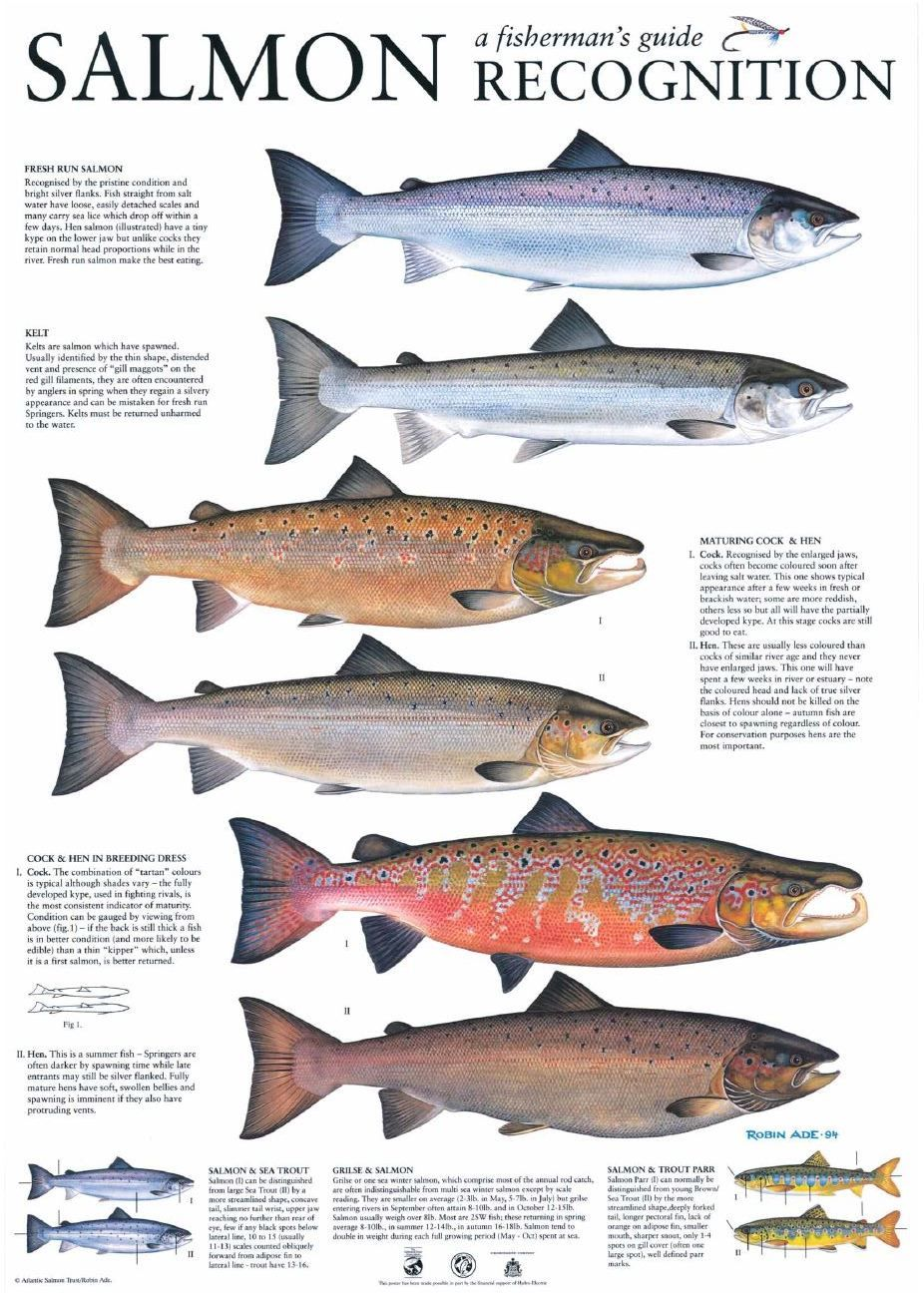 Salmon identification fly fishing pinterest salmon for Fishing for salmon