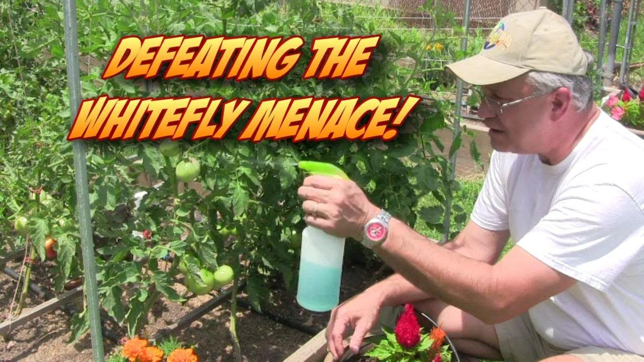 Defeating the Whitefly Garden Menace! White flies