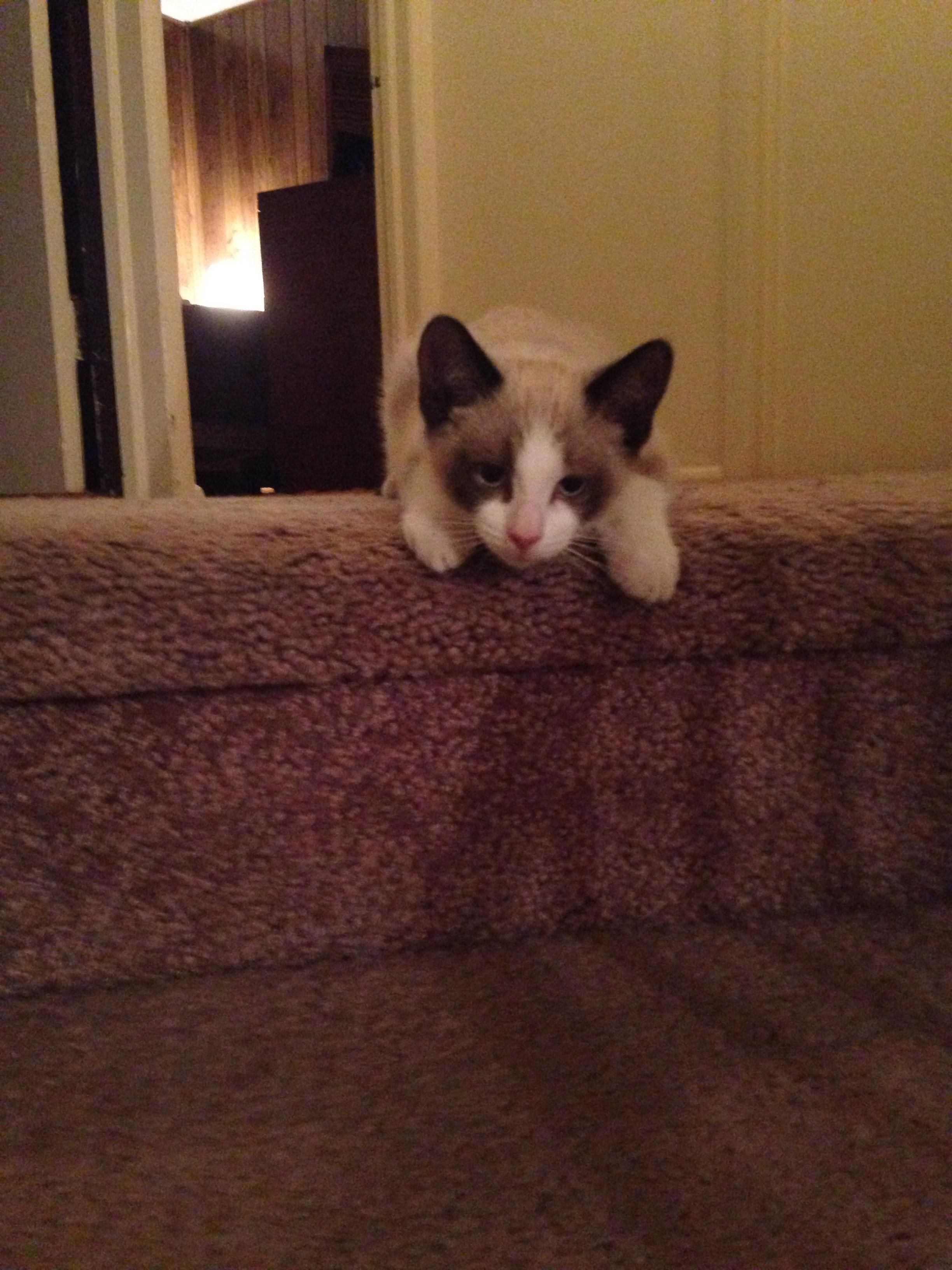 Newest Member To The Family Siamese Kittens Kitten Cat Lovers