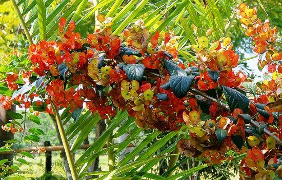 Holmskioldia Sanguinea, Chinese Hat Plant