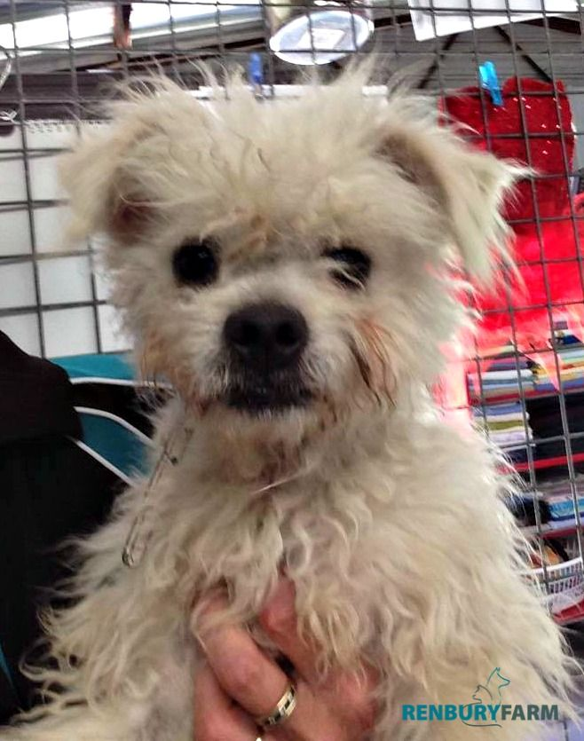 Winnetka Ca Silky Terrier Maltese Mix Meet Teddy A Dog For