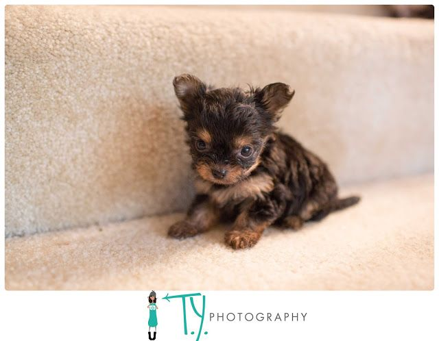 Raising Puppies Ty Photography Yorkshire Terrier Yorkie Chorkie Puppies Chihuahua Yorkie Puppies Tiny Dog Breeds Cute Teacup Puppies Yorkie