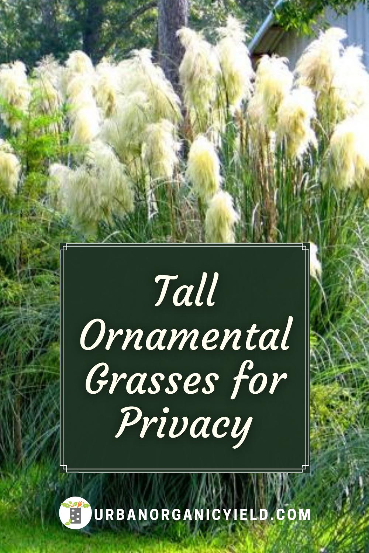 Best Tall Ornamental Grasses Tall Ornamental Grasses Ornamental Grasses Privacy Plants
