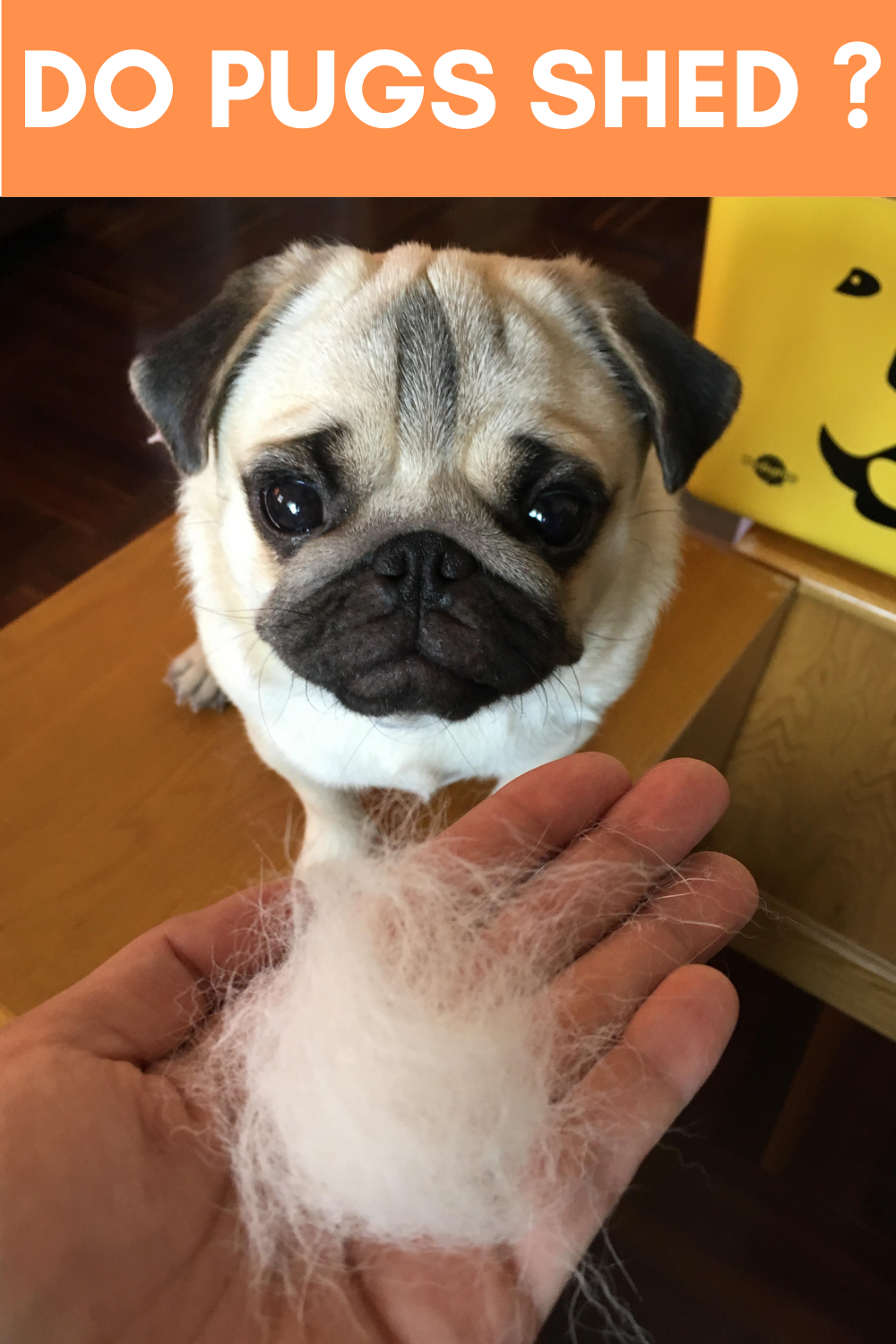 Do Pugs Shed ? Pug Shedding Tips in 2020 (With images