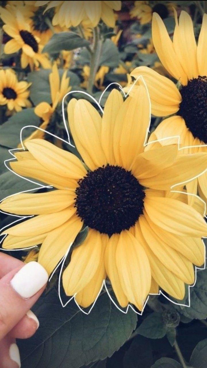 Pin Oleh Loane Dlm Di Art Tanaman Bunga Bunga Matahari