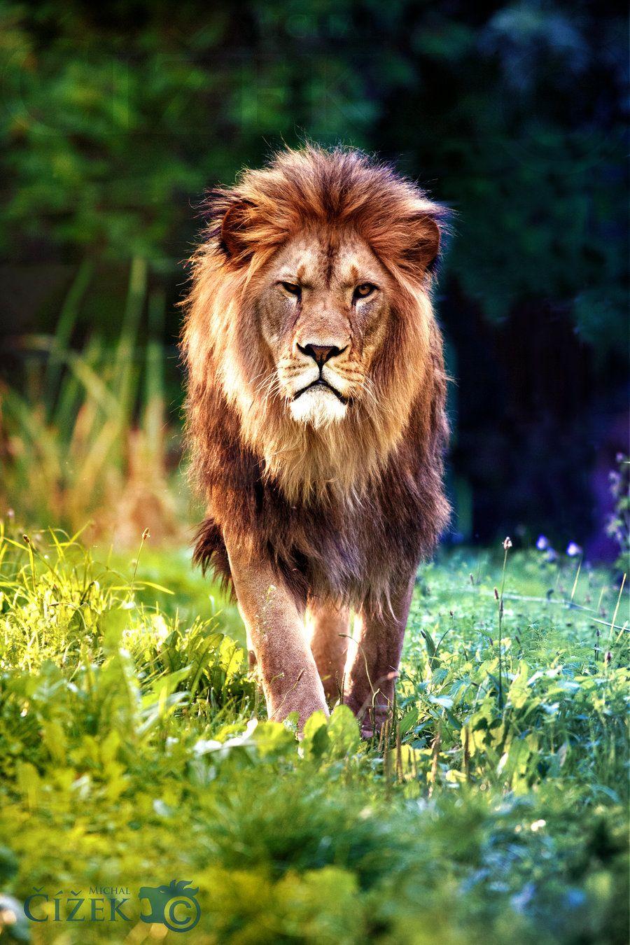 Картинки лев животных