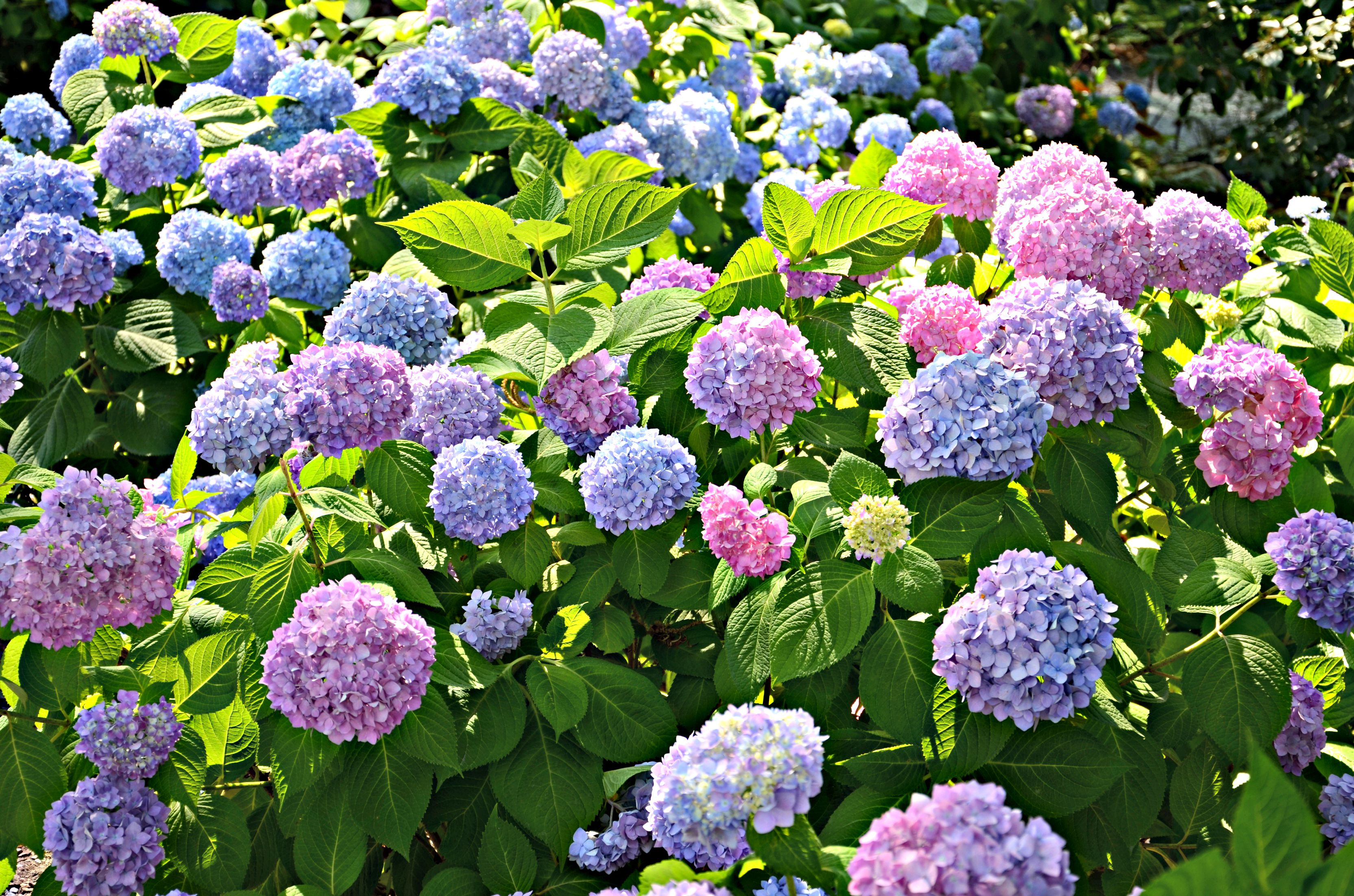 Companion Planting For Hydrangeas Hunker Planting Hydrangeas Growing Hydrangeas Companion Gardening