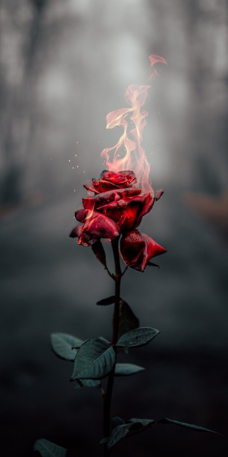 Rose On Fire Photography Wallpaper Nature Photography Fire Photography