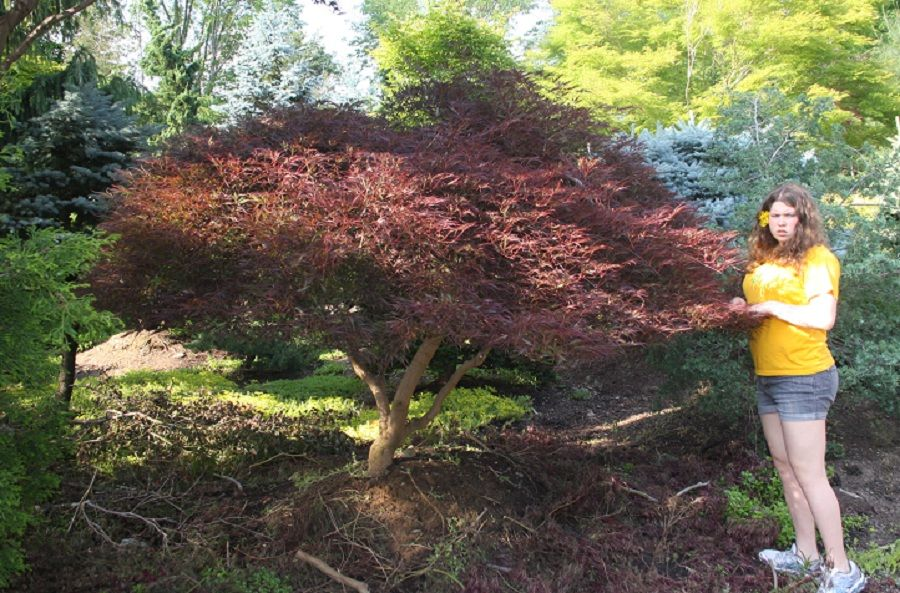 Acer Palmatum Dissectum Red Select Gardenyard Japanese Maple