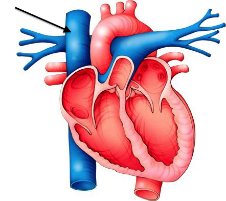 superior vena cava - the second largest vein of the body, Human Body