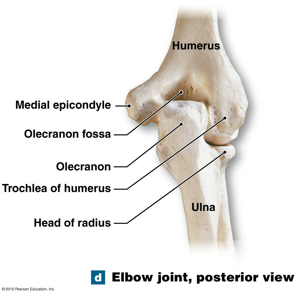 hight resolution of the posterior view of the elbow joint