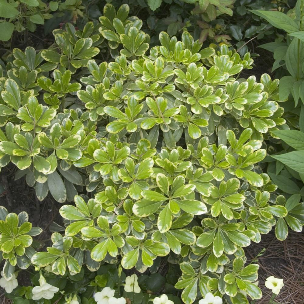 Southern Living Plant Collection 2 5 Qt Mojo Pittosporum 4791q The Home Depot Plants Plant Collection Evergreen Shrubs