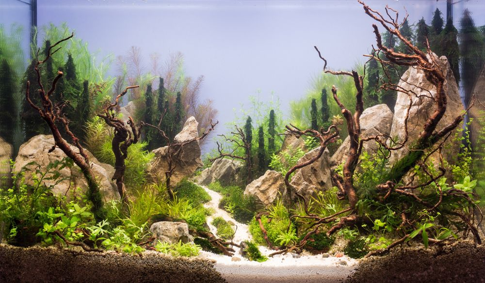 Symphony of Native Nature by Artyom Karfidov (Yekaterinburg, Russia).  Lovely use of driftwood in aquarium.
