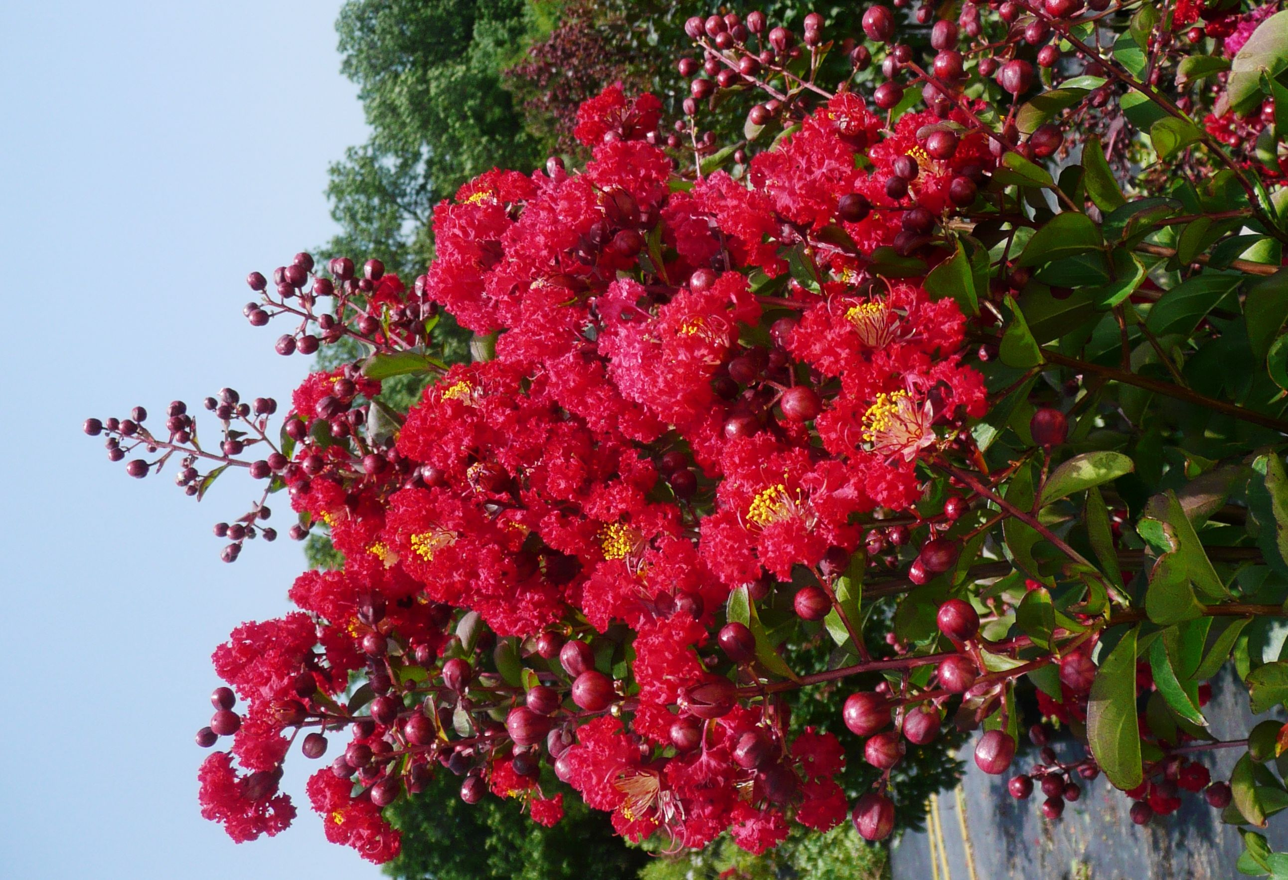 Nothing beats crape myrtles for summer color treesplants nothing beats crape myrtles for summer color nvjuhfo Choice Image