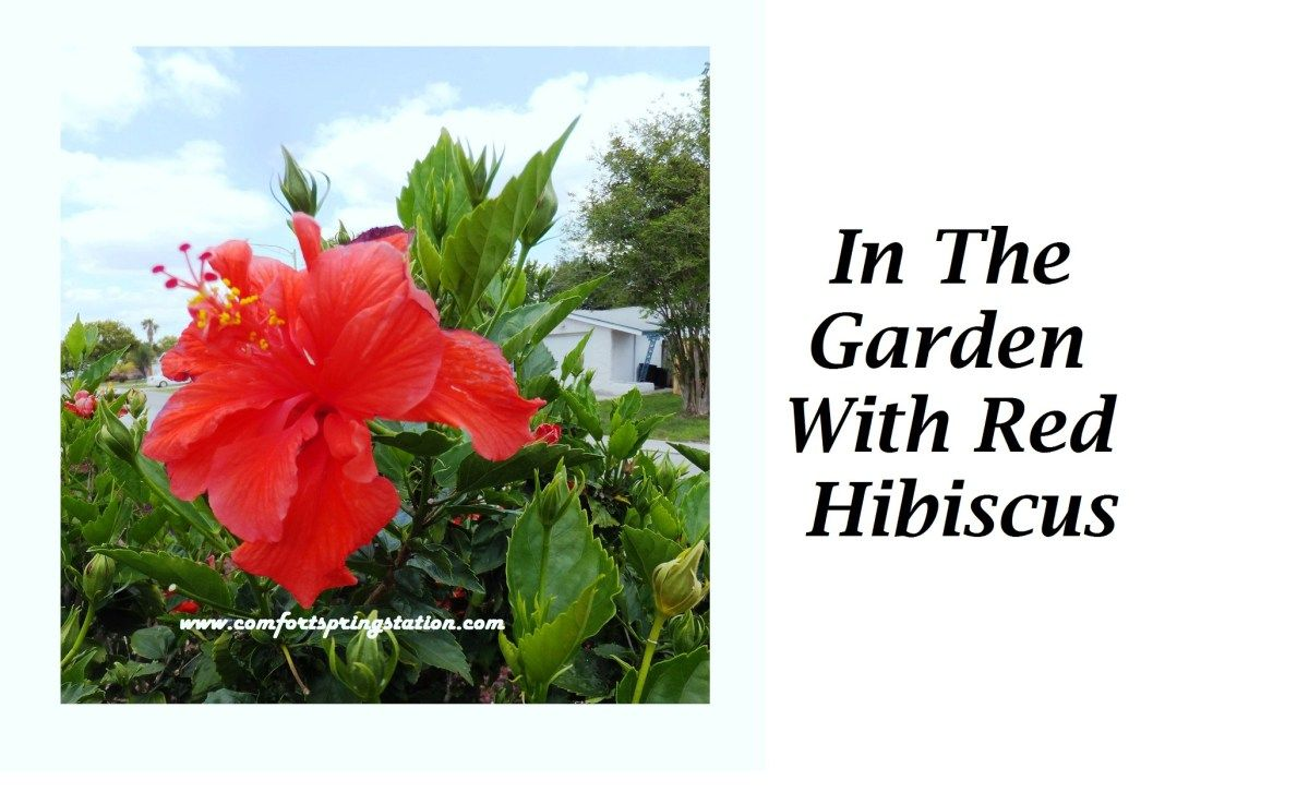 In the garden with red hibiscus pinterest hibiscus bush one of the main features of my front yard is the red hibiscus bush on a berm behind the mailbox as i mentioned in spring in my developing front garden part izmirmasajfo