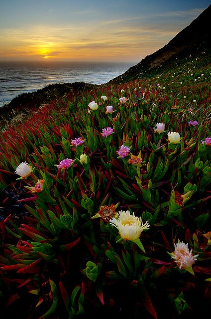 Ice Plants - The Day After Ice plant, San francisco california and
